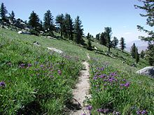 Photo of green grasses and purple flowers of penstemon along a mountain trail