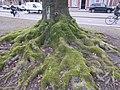 Boomwortels bedekt met mos, Wilhelminapark (Tilburg).jpg