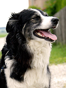 Canine Cancer Detection Wikipedia