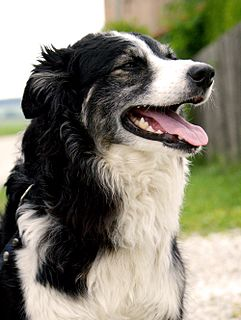 Canine cancer detection Practice of using dogs senses of smell to detect cancer