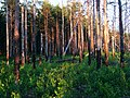 Boreal pine forest 7 years after fire, 2013-07.jpg