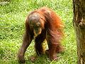 Borneose orang-oetan (3853591184) (3).jpg