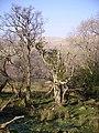 Borrowdale Wood - geograph.org.uk - 694845.jpg