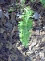 Boston Fern (2874221420).png