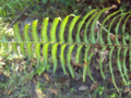 Boston Fern (2874222232).png
