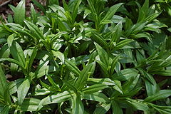 Bottle Gentian Gentiana clausa Leaves 3008px.JPG