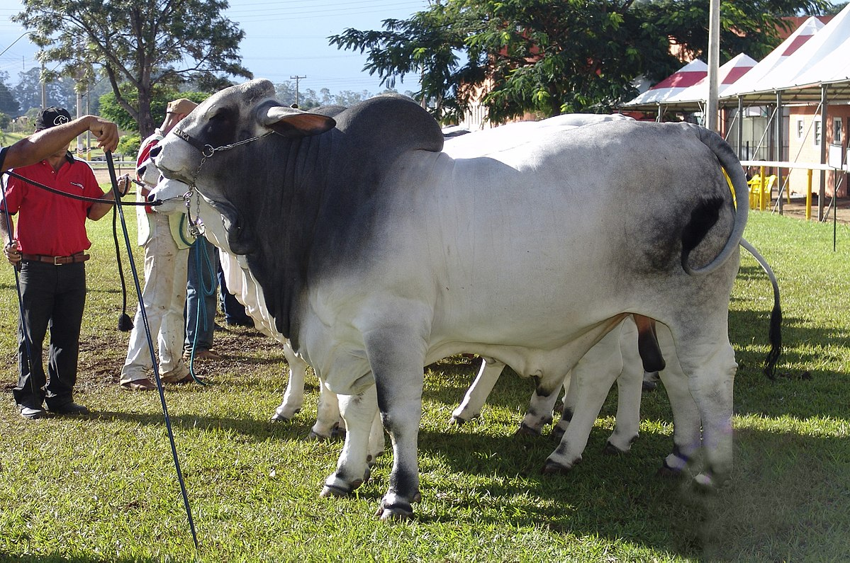 Brahman (cattle) - Wikipedia