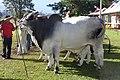 Brahman (EMAPA) 110307 REFON 2.jpg