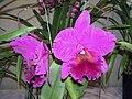 Brassolaeliocattleya Bryce Canyon -香港沙田洋蘭展 Shatin Orchid Show, Hong Kong- (9198104081).jpg