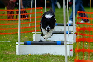 Breeze the Border Collie flyball training