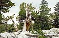 Bristlecone Great basin NP 22-08-1995 - panoramio.jpg
