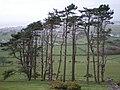 Bron Prys pines. - geograph.org.uk - 362429.jpg