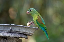 Brotogeris jugularis -Panama -feeding-8.jpg