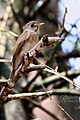 Brown-breasted Flycatcher (Muscicapa muttui) മുത്തുപിള്ള. (32876382842).jpg