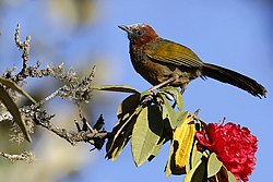 Brown-capped Laughingthrush (Trochalopteron austeni). It is found in India and Myanmar. (34587626122).jpg