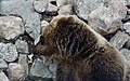 Brown Bear (45289851741).jpg