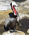 Brown Pelican (25916534537).jpg