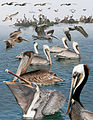 Brown Pelican From The Crossley ID Guide Eastern Birds.jpg