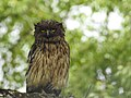 Brown fish owl Ketupa zeylonensis 02.jpg