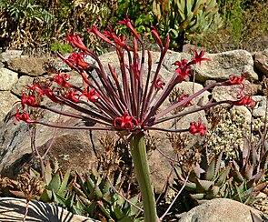 Kaiserin Josephines Brunsvigie (Brunsvigia josephinae), Blütenstand