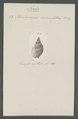 Buccinum crenulatum - - Print - Iconographia Zoologica - Special Collections University of Amsterdam - UBAINV0274 085 07 0011.tif