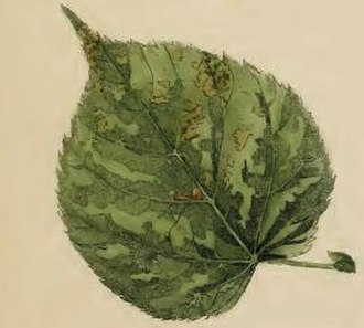 Bucculatrix thoracella - Mined and gnawed lime leaf