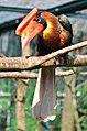 Buceros hydrocorax - Weltvogelpark Walsrode 2011-06.jpg