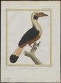 Buceros panini - 1700-1880 - Print - Iconographia Zoologica - Special Collections University of Amsterdam - UBA01 IZ19300093.tif