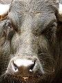 Buffalo Bill (15302809948).jpg
