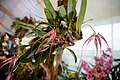 Bulbophyllum Elizabeth Ann Buckleberry - Internationale Orchideen- und Tillandsienschau Blumengärten Hirschstetten 2016.jpg