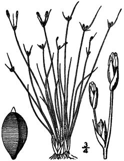 <i>Bulbostylis capillaris</i> species of plant