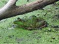 Bullfrog, Rana catesbeiana - Flickr - GregTheBusker.jpg