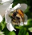 Bumblebee (255783217).jpeg
