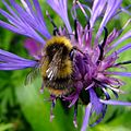 Bumblebee on flower, Ely, Cambridgshire (7355355824).jpg