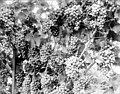 Bunches of grapes on the vine, Yakima Valley, ca 1910s (INDOCC 1355).jpg