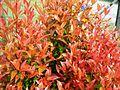 Bunga pucuk merah (9).JPG