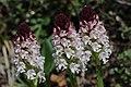 Burnt-tip Orchid - Neotinea ustulata (17127335250).jpg