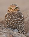 Burrowing Owl (8361376627).jpg
