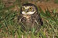 Burrowing Owl - Flickr - GregTheBusker (3).jpg