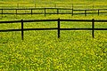 Buttercups in a field (geograph 6475452).jpg