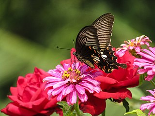 Butterfly By Ahamed Rafid.jpg