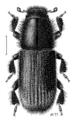 COLE Curculionidae Hylurgus ligniperda.png