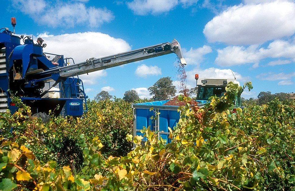 CSIRO ScienceImage 4712 Grape harvesting machinery in operation at a vineyard in the Eden Valley SA 2004