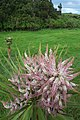 Cabbage tree flower spike with pink bracts (Queen Elizabeth Park).jpg