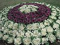 Cabbages - garden.JPG