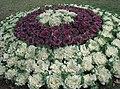 Cabbages - garden.JPG