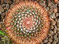 Cactus in Helsinki Winter Garden spirals 8.jpg