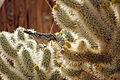 Cactus wren (Campylorhynchus brunneicapillus) building a nest - 12938396024.jpg