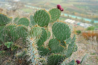 Fully - Cactuses (Opuntia)