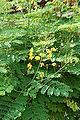 Caesalpinia pulcherrima Flava1.JPG